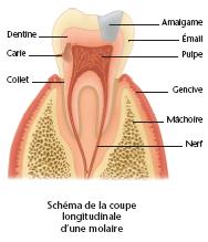 Schéma d'une molaire