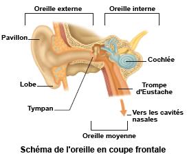 Schéma d'une oreille en coupe