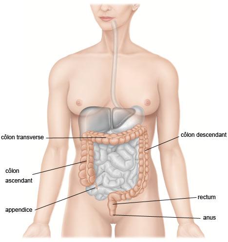 gros côlon, rectum et anus