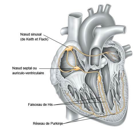 système électrique du cœur