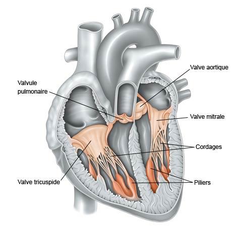 valves du cœur