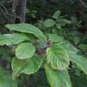 feuilles de cascara