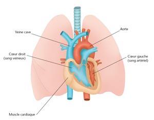 illustration du coeur