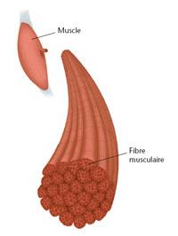 coupe d'un muscle