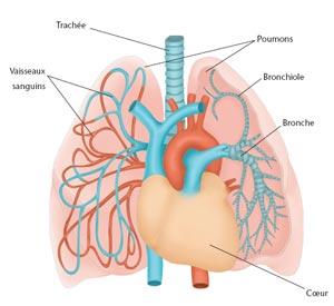 illustration des poumons