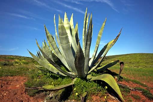 Aloès (Aloe vera)