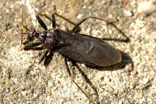Maladie de Chagas (trypanosomose américaine)